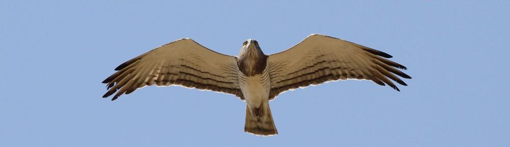 Beaudouins snake eagle - photo#22