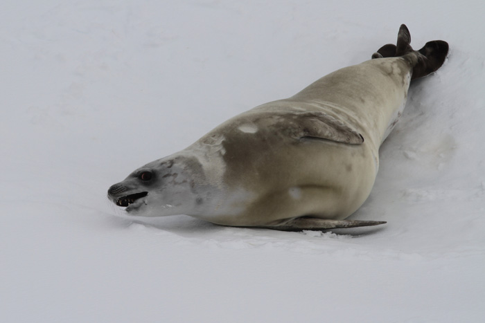 Crabeater and Weddell Seals in the Weddell Sea | Three ...