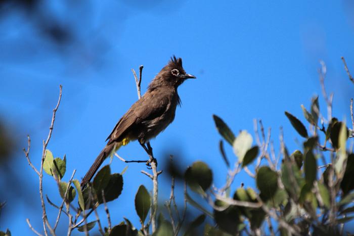 Cape Bulbul 1, Kirstenbosch, 7 Sept 2014
