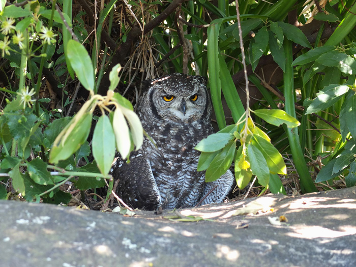 Cape Spotted Eagle Owl 4, Kirstenbosch, 7 Sept 2014