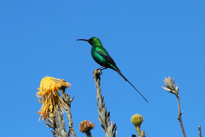 Malachite Sunbird 2, Kirstenbosch, 7 Sept 2014