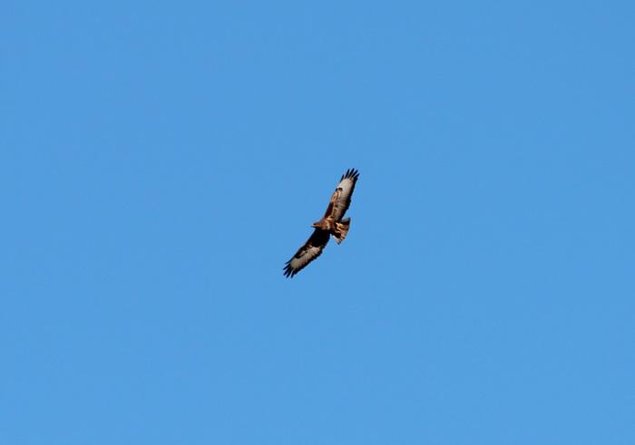 Poss Steppe Buzzard 1, Kirstenbosch, 7 Sept 2014
