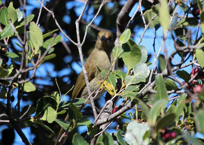 Sombre Green Bulbul 1, Kirstenbosch, 7 Sept 2014