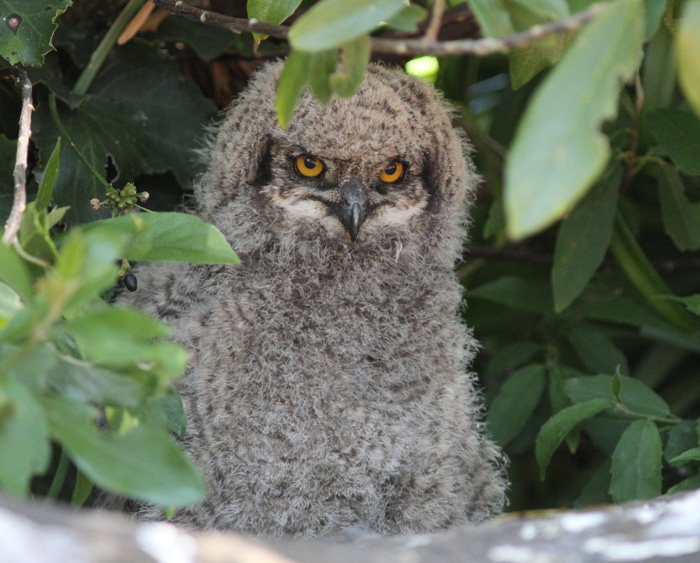 Spotted-Eagle-Owl-5-Kirstenbosch-23-Oct-2012-Copy