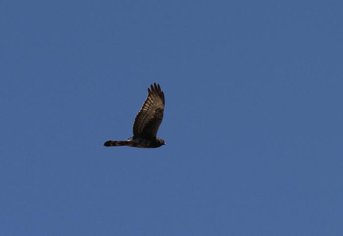 Black Sparrowhawk 1, Rooi-Els, 12 Sep 2014