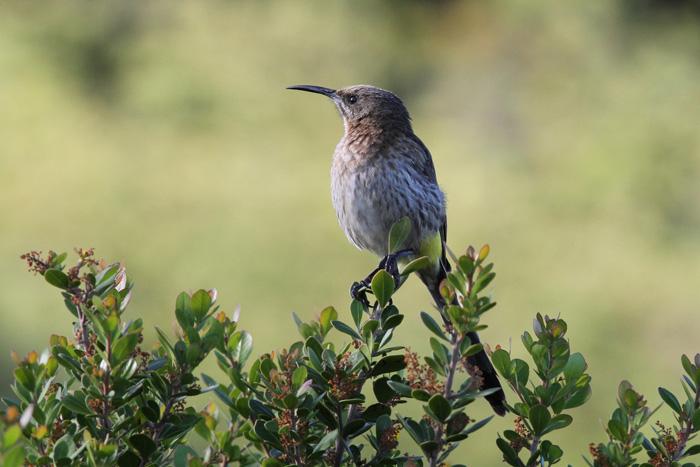 Cape Sugarbird 1, Rooi-Els, 12 Sep 2014