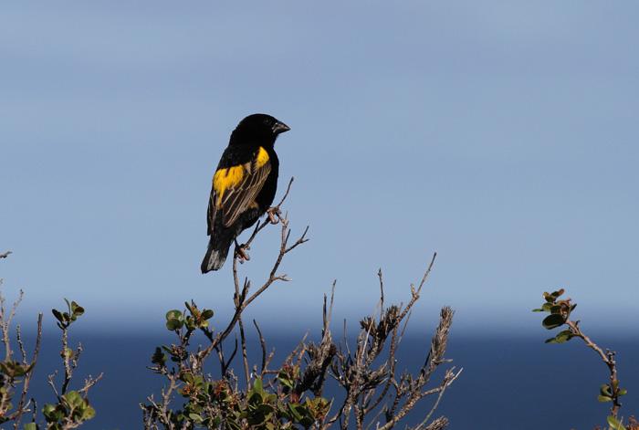 Yellow Bishop 1, Rooi-Els, 12 Sep 2014