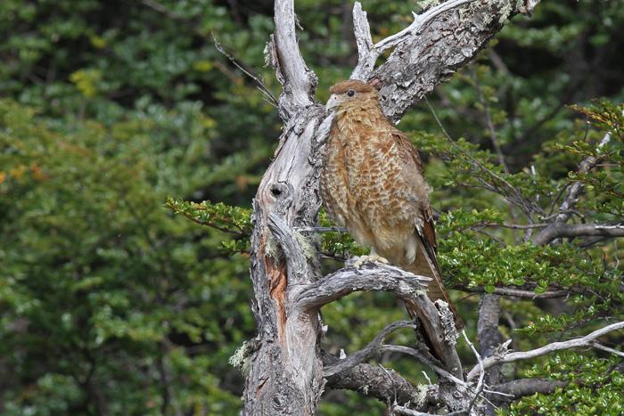 Chimango Caracara 3a, Reserva Nacional Parillar, 18 Jan 2015