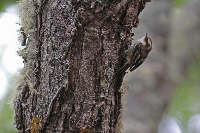 Thorn-tailed Rayadito 1, Reserva Nacional Parillar, 18 Jan 2015