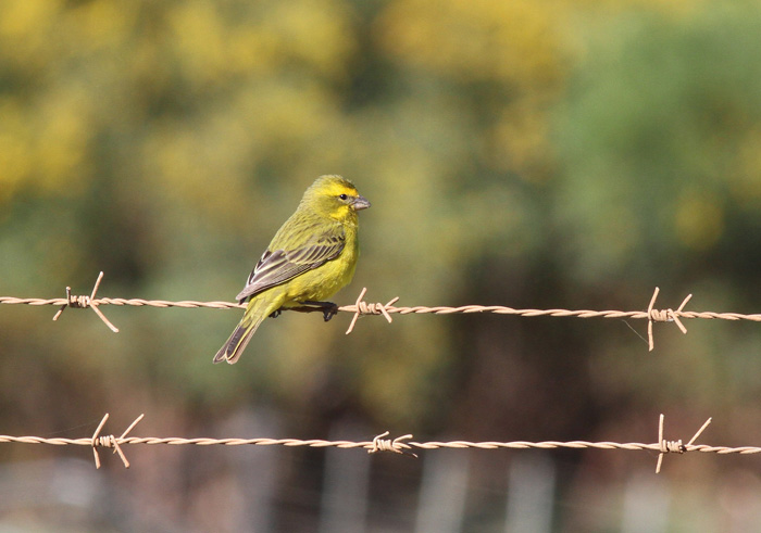Yellow Canary, Swart River Road, 12 Sep 2014
