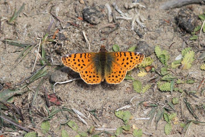 Butterfly sp 1a, Reserva Nacional Magallanes, 18 Jan 2015