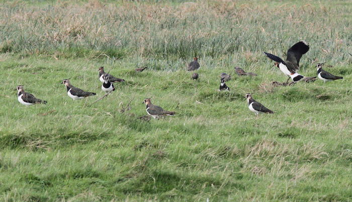 Lapwing 1b, Titchfield Haven, 23 Nov 2015_edited-1