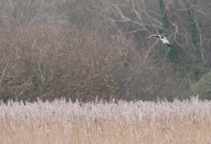Marsh Harrier 1, Titchfield Haven, 23 Nov 2015