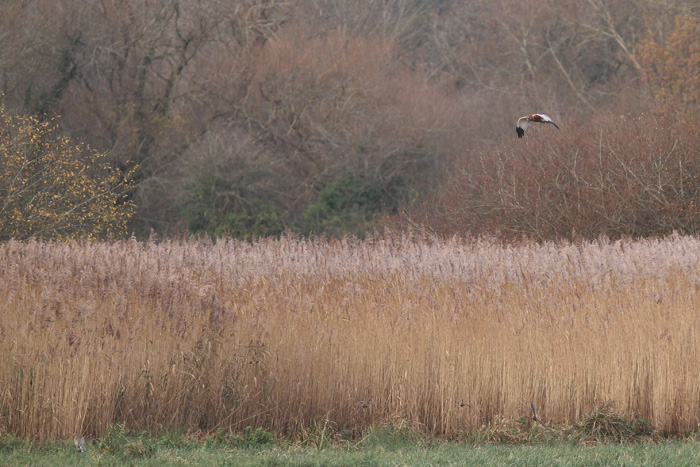 Marsh Harrier 2, Titchfield Haven, 23 Nov 2015