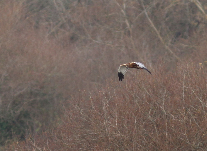 Marsh Harrier 2a, Titchfield Haven, 23 Nov 2015