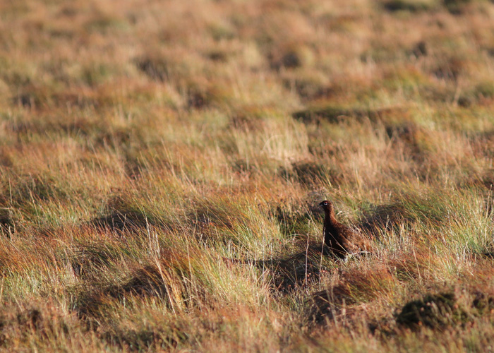 Red Grouse 1a, Trough of Bowland, 19 Nov 2015