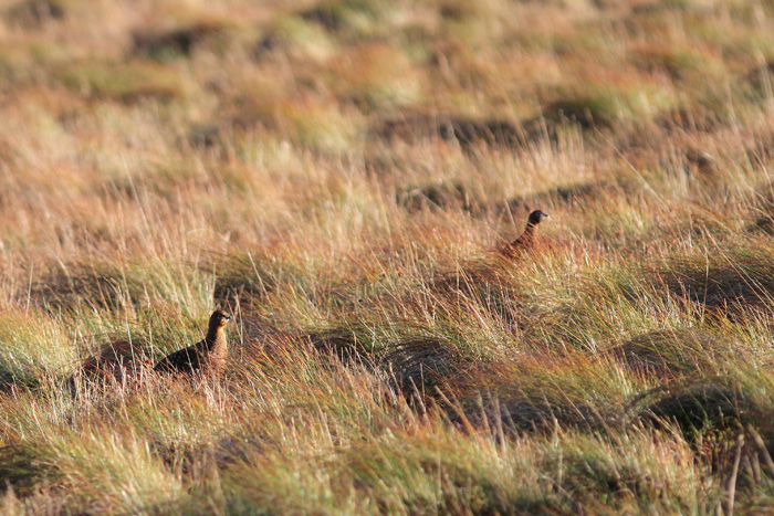 Red Grouse 2, Trough of Bowland, 19 Nov 2015