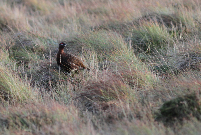 Red Grouse 3, Trough of Bowland, 19 Nov 2015