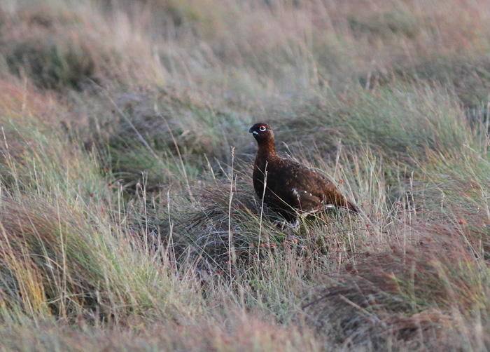 Red Grouse 4, Trough of Bowland, 19 Nov 2015