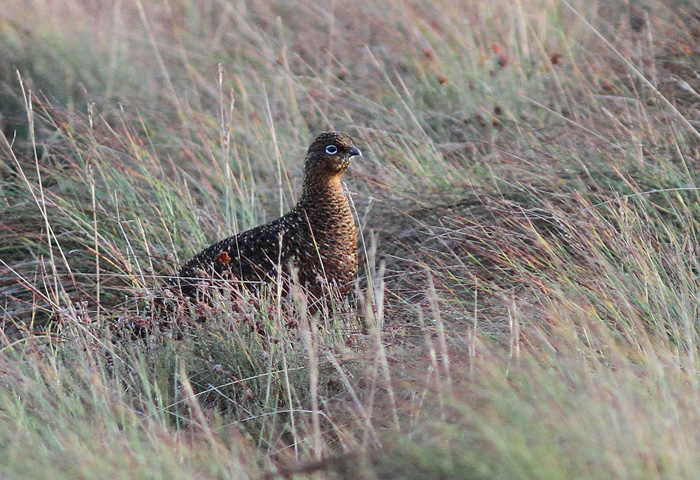 Red Grouse 6, Trough of Bowland, 19 Nov 2015