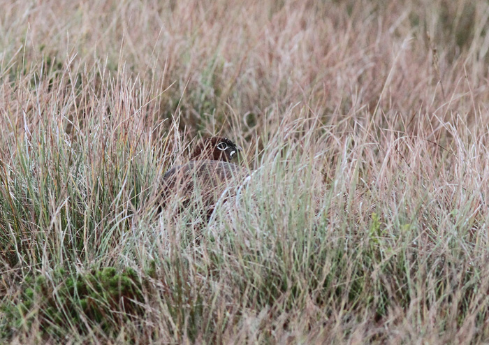 Red Grouse 8a, Trough of Bowland, 19 Nov 2015