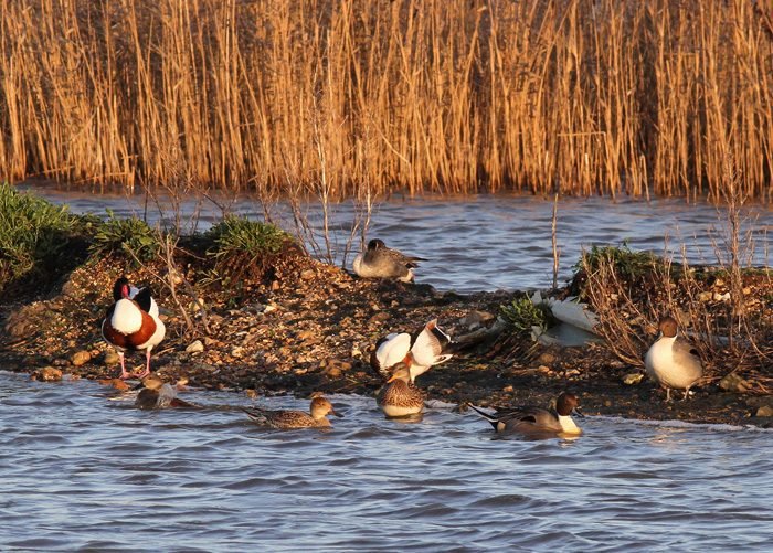 Pintail and Shelduck 1, Hook with Warsash, 24 Dec 2015