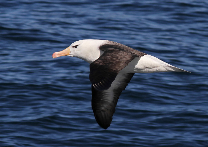 Black-browed Albatross 5a , South Atlantic, 23 Jan 2015