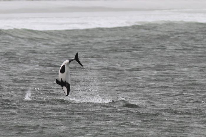 Commerson's Dolphin 2b, Bertha's Beach, 24 Feb 2015