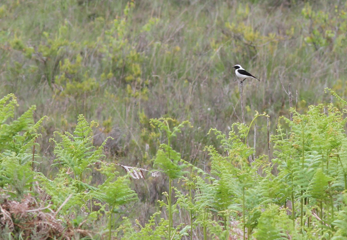 Eastern Black-eared Wheatear 2b, Acres Down, 13 Jun 2015