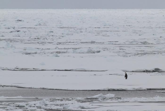 Emperor Penguin 5, ad, Weddell Sea, Antarctica, 1 Feb 2015