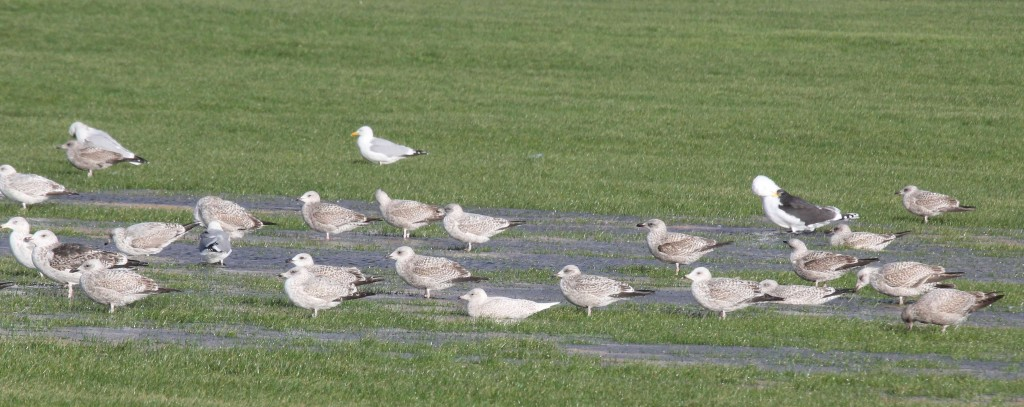 Iceland Gull Southsea 070115 143