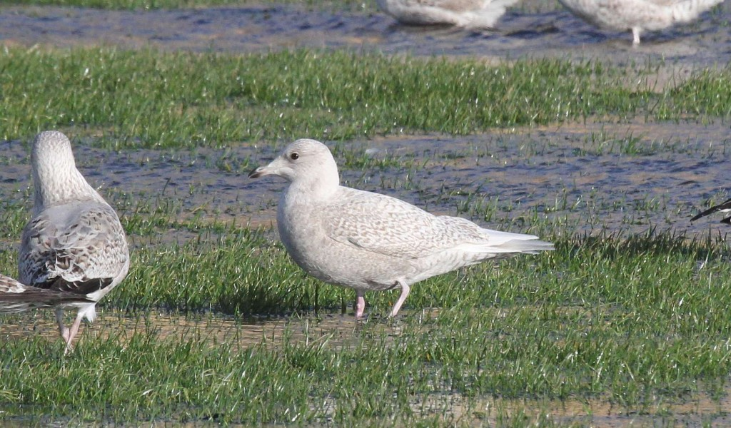 Iceland Gull Southsea 070115 194