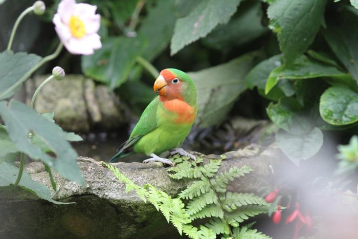 Rosy-breasted Lovebird, Fareham, 18 Aug 2015