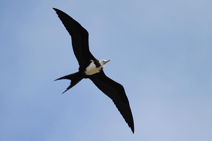 Ascension Frigatebird 1, Mars Bay, 15 Jan 2016