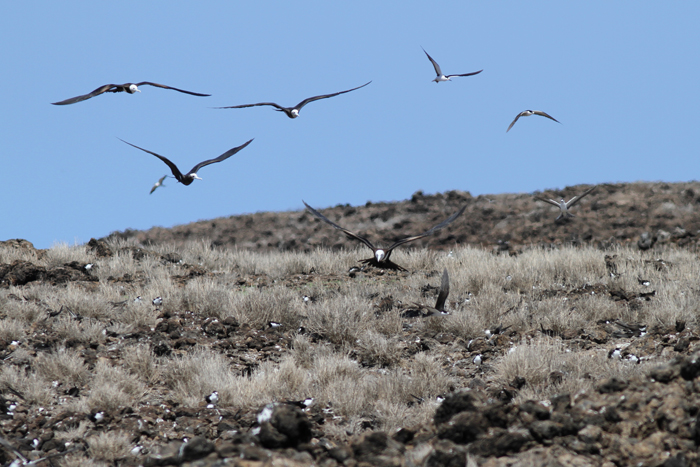 Ascension Frigatebirds hunting over the Sooty Tern colony 1, Mars Bay, 15 Jan 2016