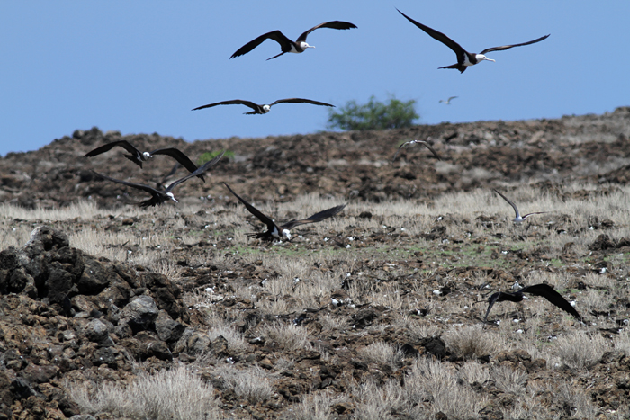 Ascension Frigatebirds hunting over the Sooty Tern colony 2, Mars Bay, 15 Jan 2016