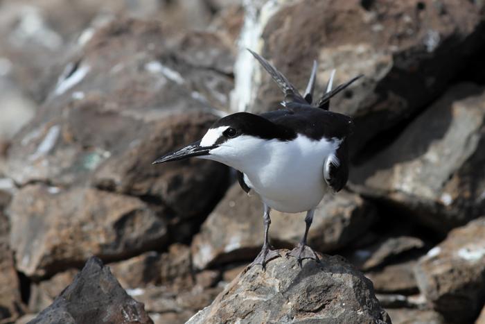 Sooty Tern 8, Mars Bay, 14 Jan 2016
