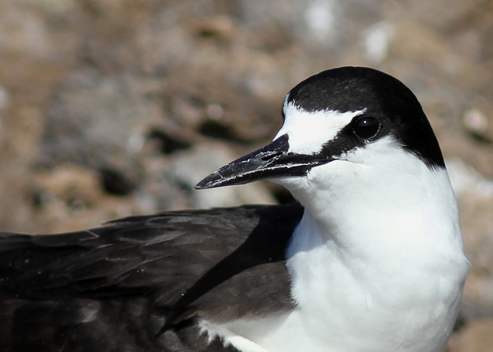 Sooty Tern 9, Mars Bay, 14 Jan 2016