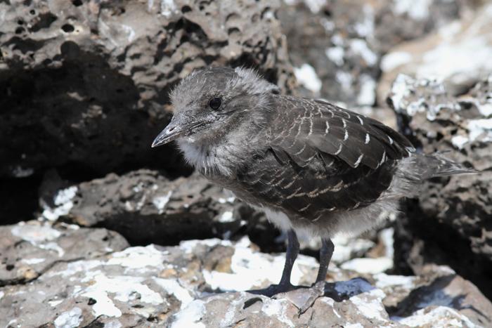 Sooty Tern Chick 2 -  P5 P6 , Mars Bay, 19 Jan 2016
