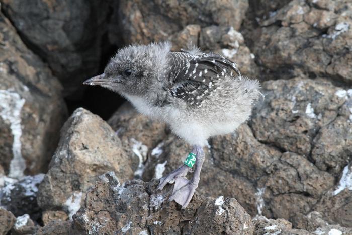Sooty Tern Chick Study 5, Mars Bay, 15 Jan 2016