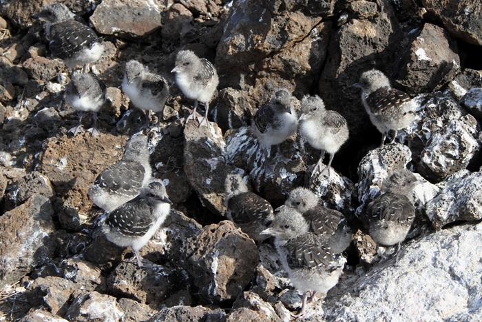 Sooty Tern Chicks 3, Mars Bay, 15 Jan 2016