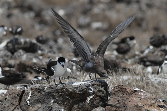 Sooty Tern with Chick 1, Mars Bay, 26 Jan 2016