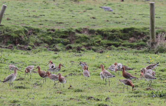 Black-tailed Godwits 1, Titchfield Canal, 9 Apr 2016
