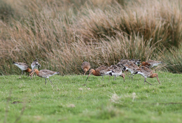 Black-tailed Godwits 3, Titchfield Canal, 9 Apr 2016