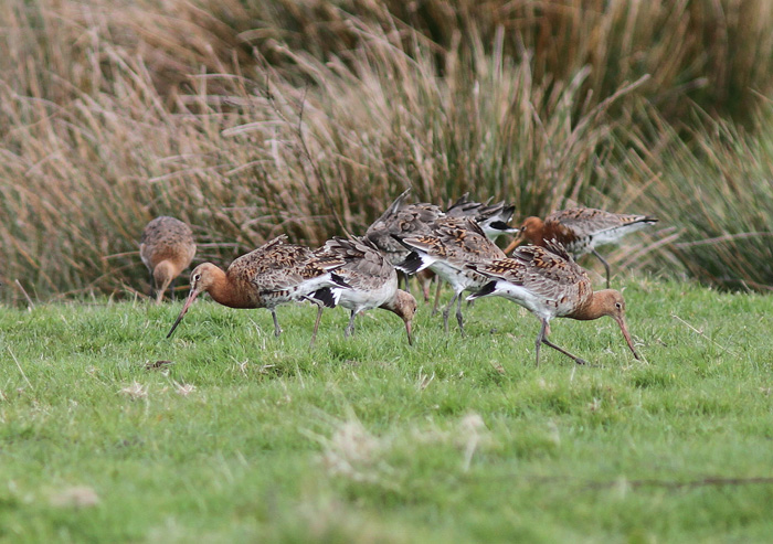 Black-tailed Godwits 3a, Titchfield Canal, 9 Apr 2016