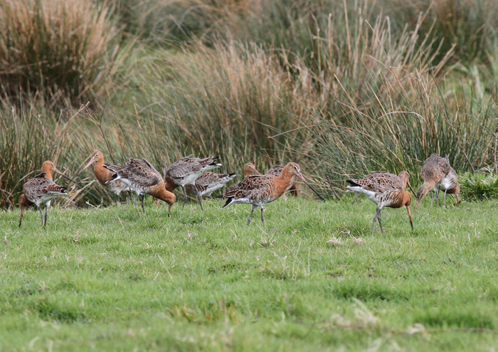 Black-tailed Godwits 5, Titchfield Canal, 9 Apr 2016
