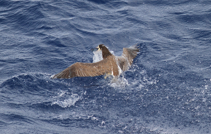 Brown Booby 3, Eastern Caribbean Sea, 27 Jun 2014