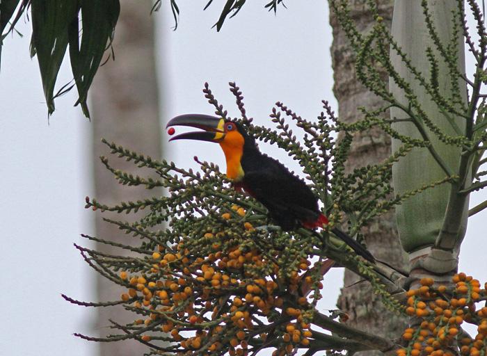 Channel-billed Toucan 4, Rio Botanic Garden, 31 Mar 2015