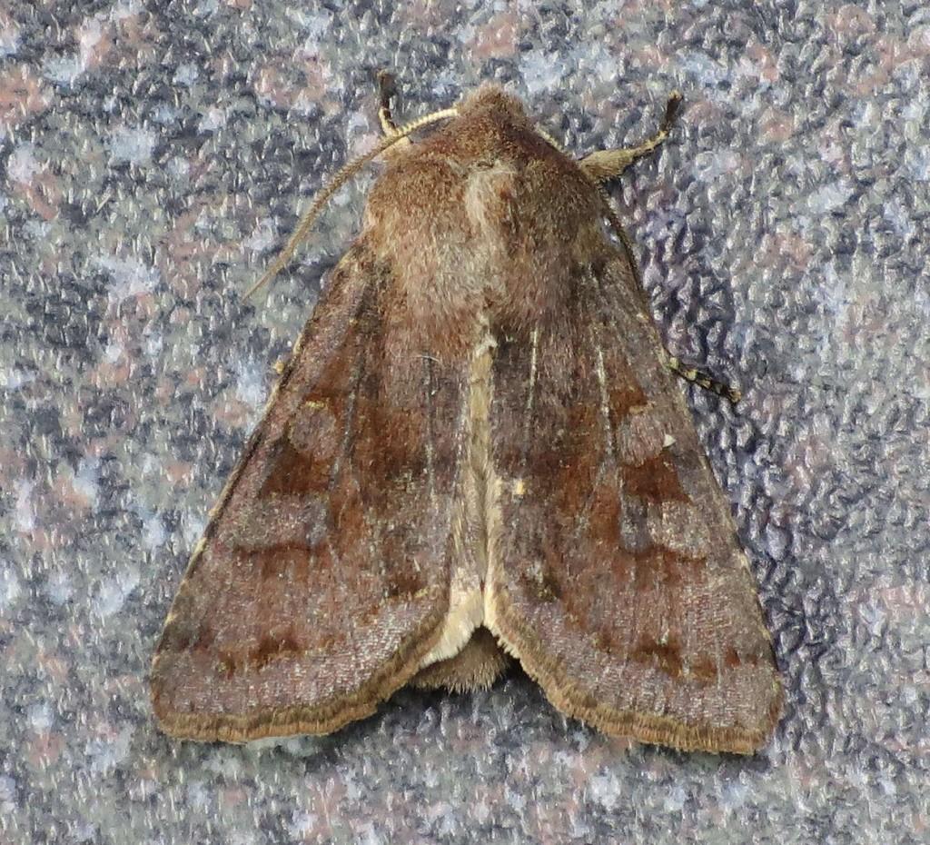 Clouded Drab Moth 2 120416 009