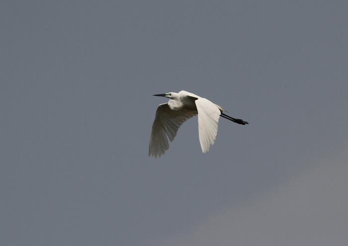 Great Egret 1, Hong Kong Wetland Park, 6 March 2016